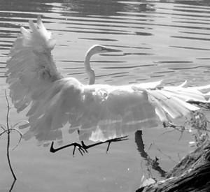 B&W egret (Large)